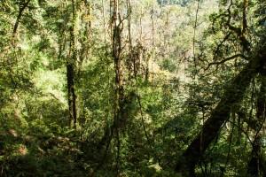 Bambous au milieu de l'Himalaya