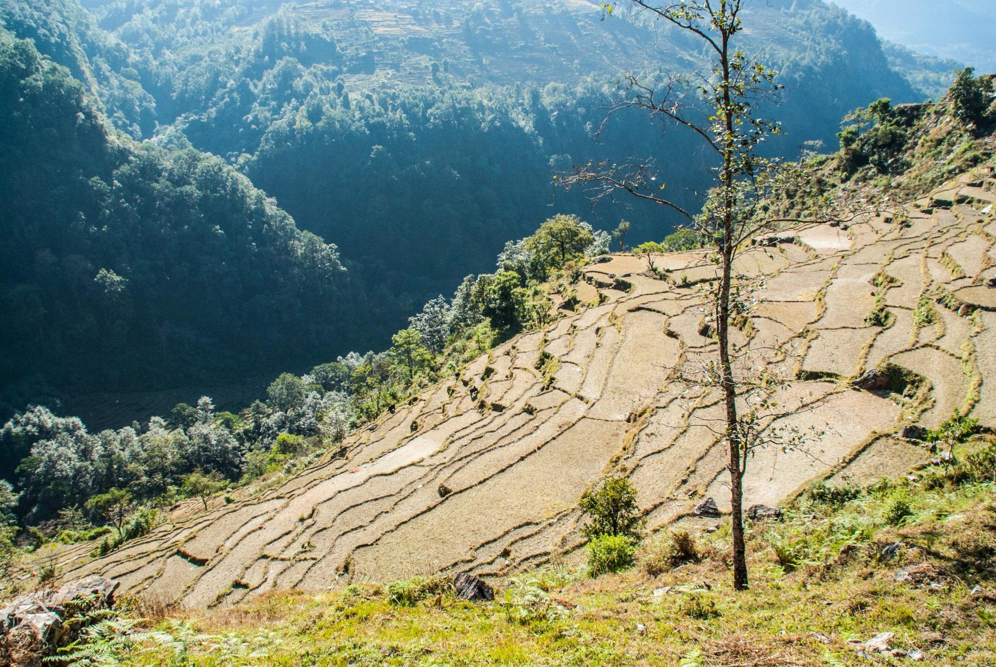 rizière au Népal