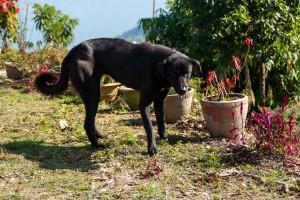 Un chien au Népal