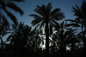 Palmiers au lever du jour