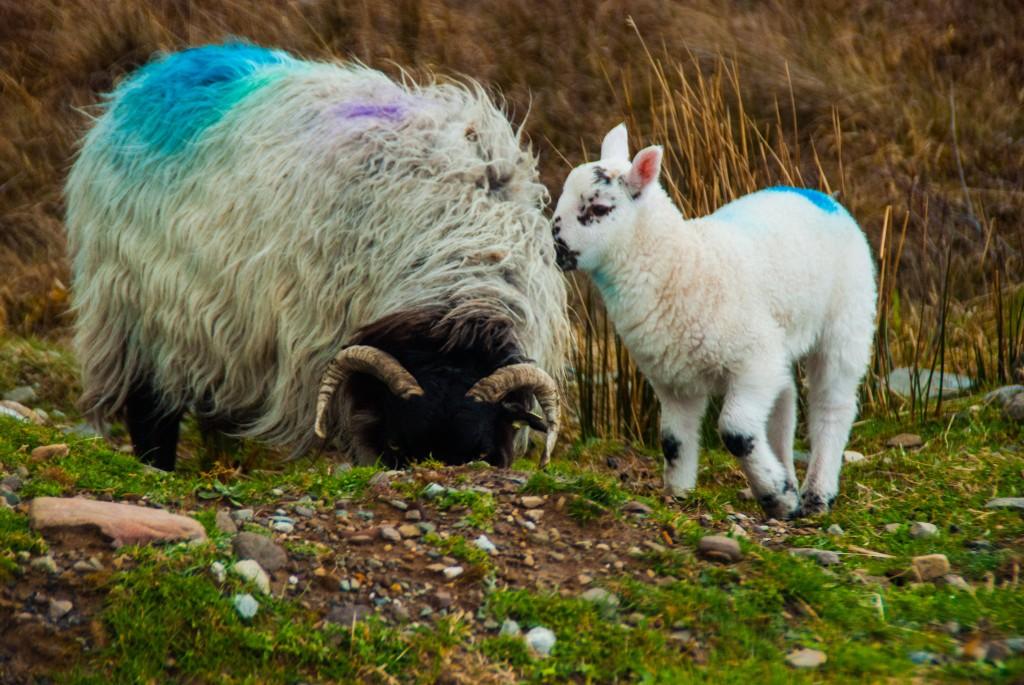 une petite brebis au Connemara