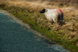 mouton du connemara