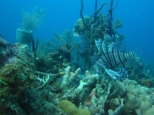Coraux-australie