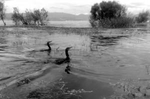 peche au cormorans