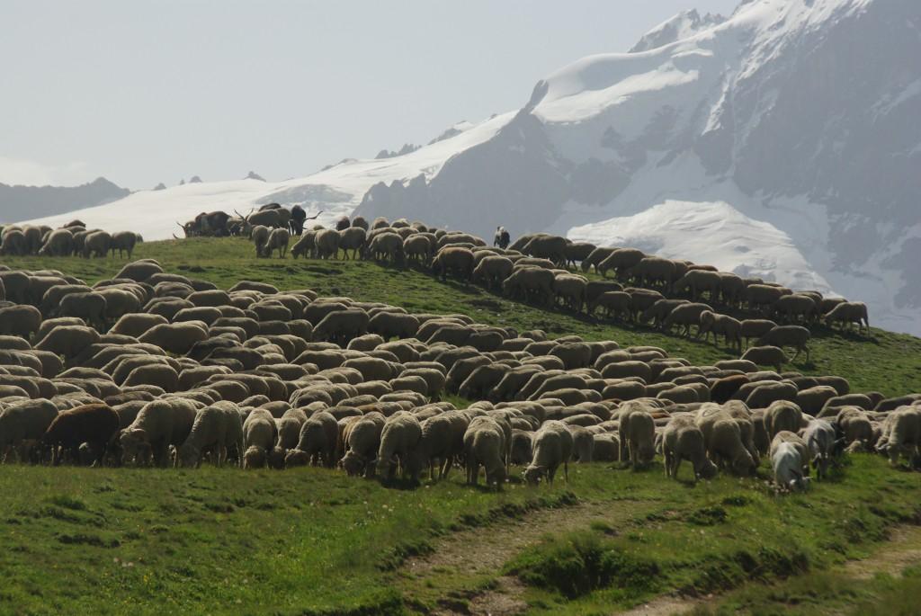 un troupeau dans l'Oisans