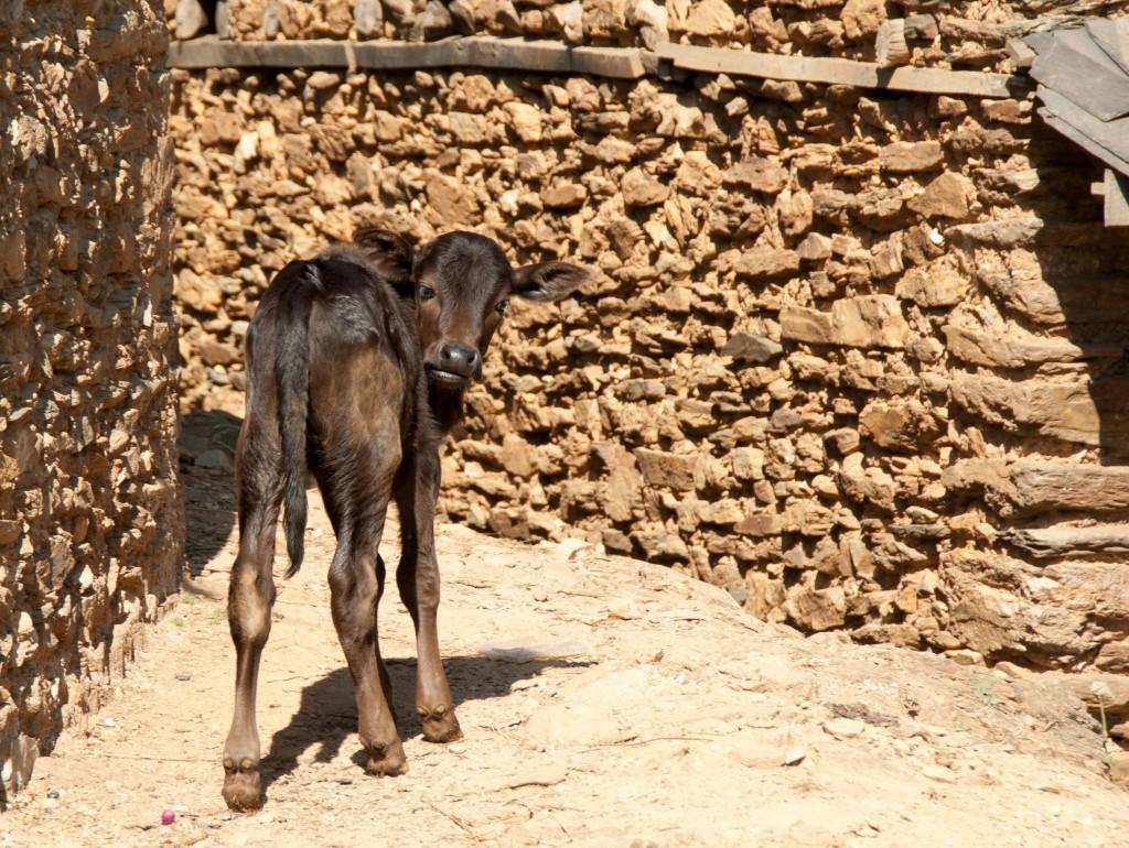Un veau à Ramkot