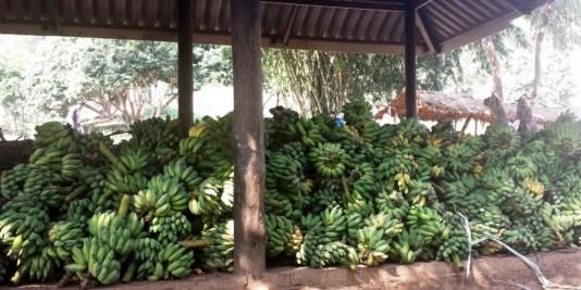 plein de bananes