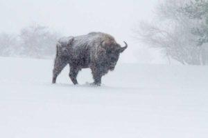 bison sous la neige