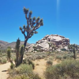 Cactus en californie