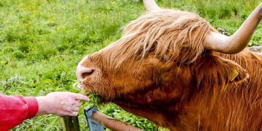 Vache Ecossaise
