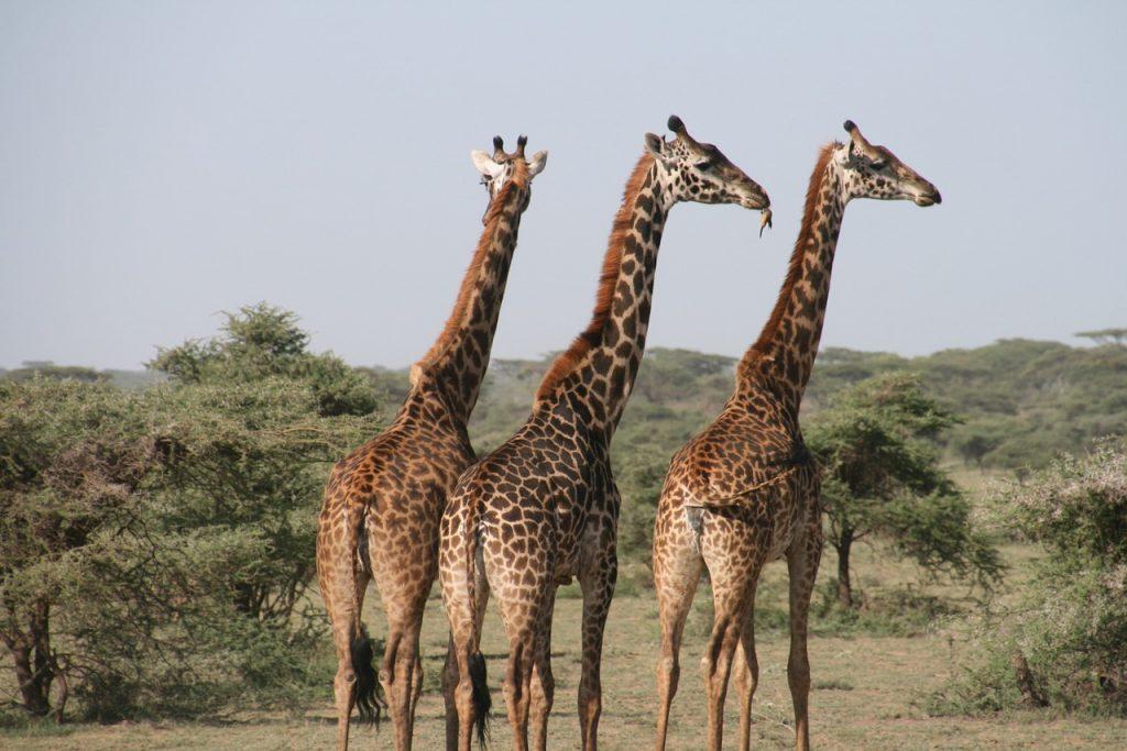 girafes en afrique