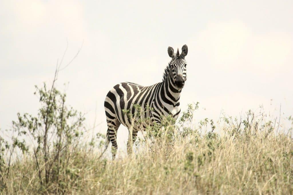 zèbre en safari